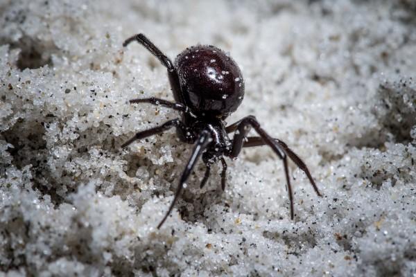 Katipō spiders