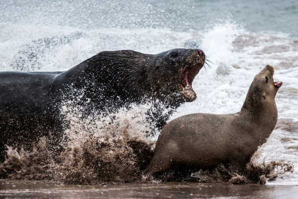 A large male sea-lion chases down a female at Enderby Island. Females come ashore from early December and give birth to their pup within days. While suckling their pup they must regularly go to sea to feed, gathering in groups to storm a blockade of opportunistic males. When they return to the beach alone, males often catch and hold them captive, sometimes for hours. Male sexual aggression can lead to injury or even death.