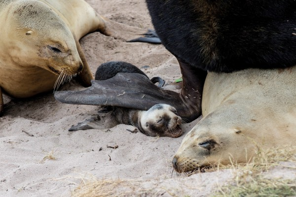 Pups born in the harem (below) risk being crushed by males fighting or mating. This pup later died from his injuries. Female sea-lions mate again just days after giving birth, although the fertilised egg won't implant in the uterus wall for another three months.