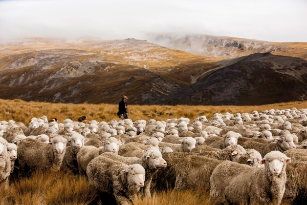 John Cochrane droves a mob of merinos during the autumn muster on Otematata Station in North Otago. While it was the Romney—alongside other British breeds—that underpinned the New Zealand wool industry for decades, the national flock has dwindled from 70 million in the early 1980s to just under 30 million today. Merino numbers, however, have stayed relatively constant.