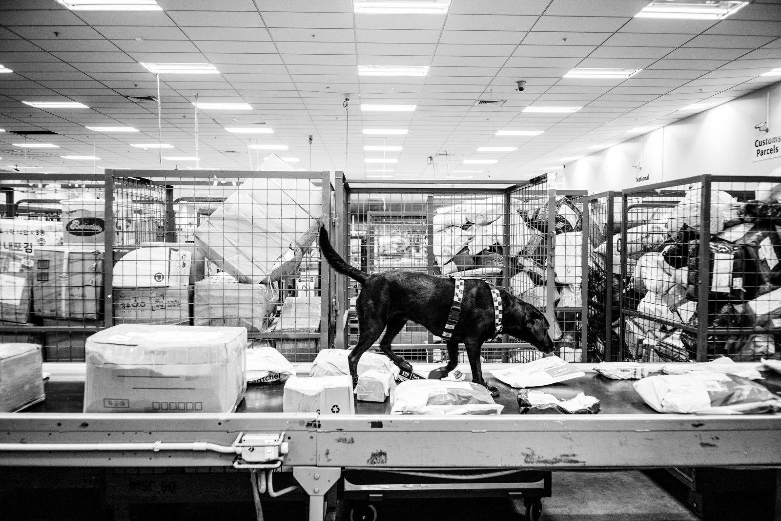 A Customs Service drug detection dog investigates mail arriving from China. Over 1,000,000 letters and packages rumble down the international mail belt at Auckland Airport each week. In 2015 Customs officers seized a record 283 kilograms of methamphetamine at the border and nearly a tonne of the precursors for meth.
