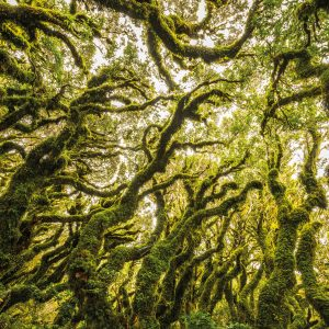 Gnarled branches festooned with trailing moss and lace-like ferns give the Goblin Forest its name. Located on the subalpine slopes of Mt Taranaki, many of its contorted kāmahi trees sprouted on the stumps of those killed 350 years ago by ash showers from the now-quiescent volcano. Jason Law waited for a rainy day to photograph the Goblin Forest, and says further patience was required to capture this image without rain droplets.