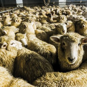 Sheep jostle in a holding pen at Blue Sky Meats in Woodlands, Southland. The total number of sheep in New Zealand fell with the removal of farm subsidies from around 70 million in 1982 to dip below 30 million for the first time since the 1930s this year as land use changes and farm conversions—particularly to dairy, and particularly in the South Island—continue. Sheep meat makes up about half of all New Zealand's meat exports. However, consumption of sheep, beef and poultry has fallen steadily since the mid 20th century, from 130 kilograms per person per year to 91 kilograms in the early 2000s.