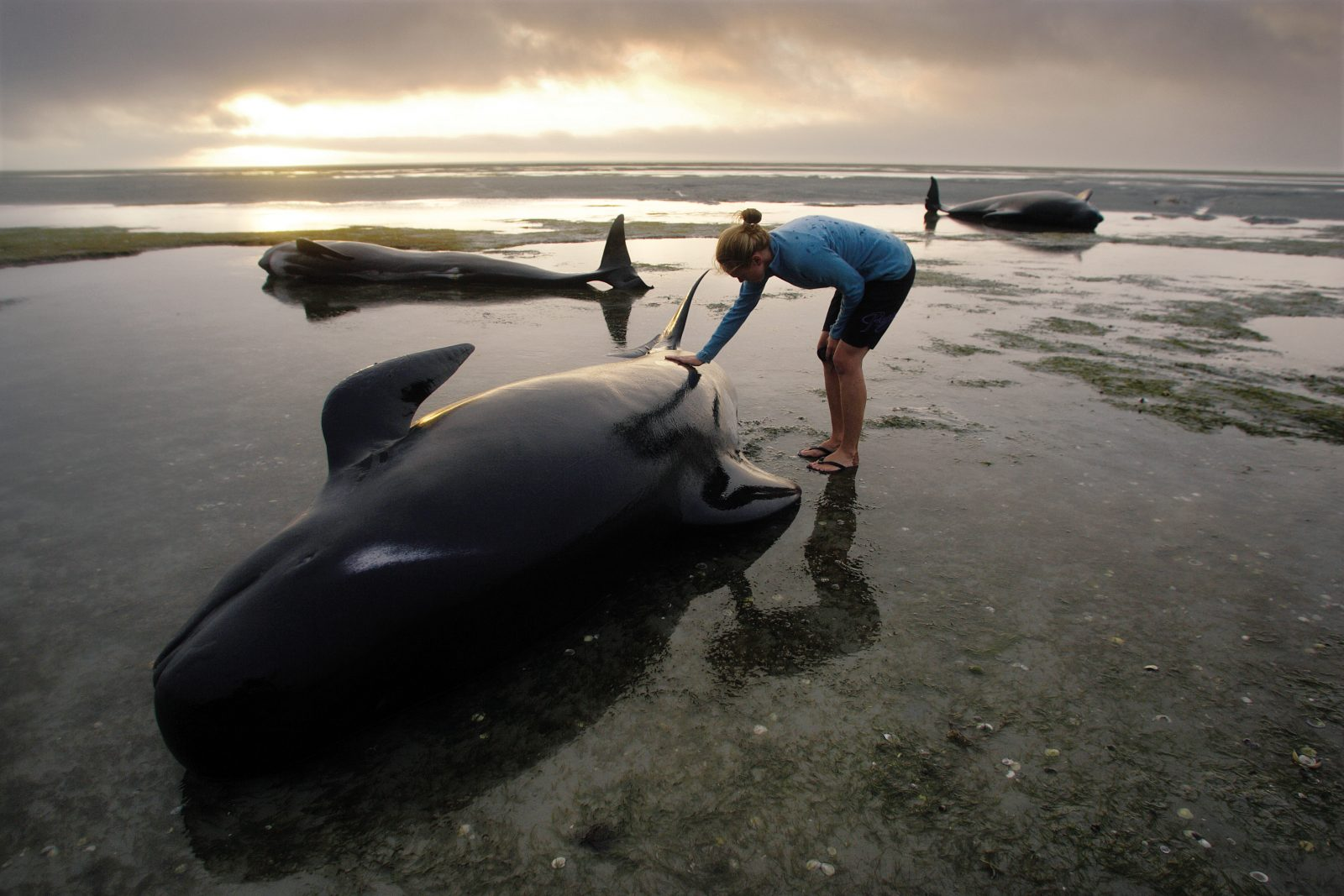 Numerous mass whale strandings have occurred in New Zealand since records began in 1840, and Farewell Spit is one of the most frequent locations for those involving long-finned pilot whales. On the first evening, I initially photographed, and then joined, teams of volunteers cooling and hydrating 84 whales and preparing them for the fast-rising midnight tide. DOC cleared the beach at dusk as it was too dangerous to stay in the shallows. I slept in the car, and before dawn went back to find just 14 whales left on the sand. Most of the other whales had self-rescued, a rare occurrence. The light on that second day was extraordinarily hazy, filtering through dark cloud and fine drizzle. Later that morning, dozens of people waded chest-deep into the sea at Pakawau to stop a small group of the surviving whales trying to beach again. DOC staff would spend another two days shadowing the fragmented pod, refloating them three more times before the whales moved to the safety of deep water. For several hundred committed, caring people, February 4, 2011 will be remembered as the day they saved the whales.