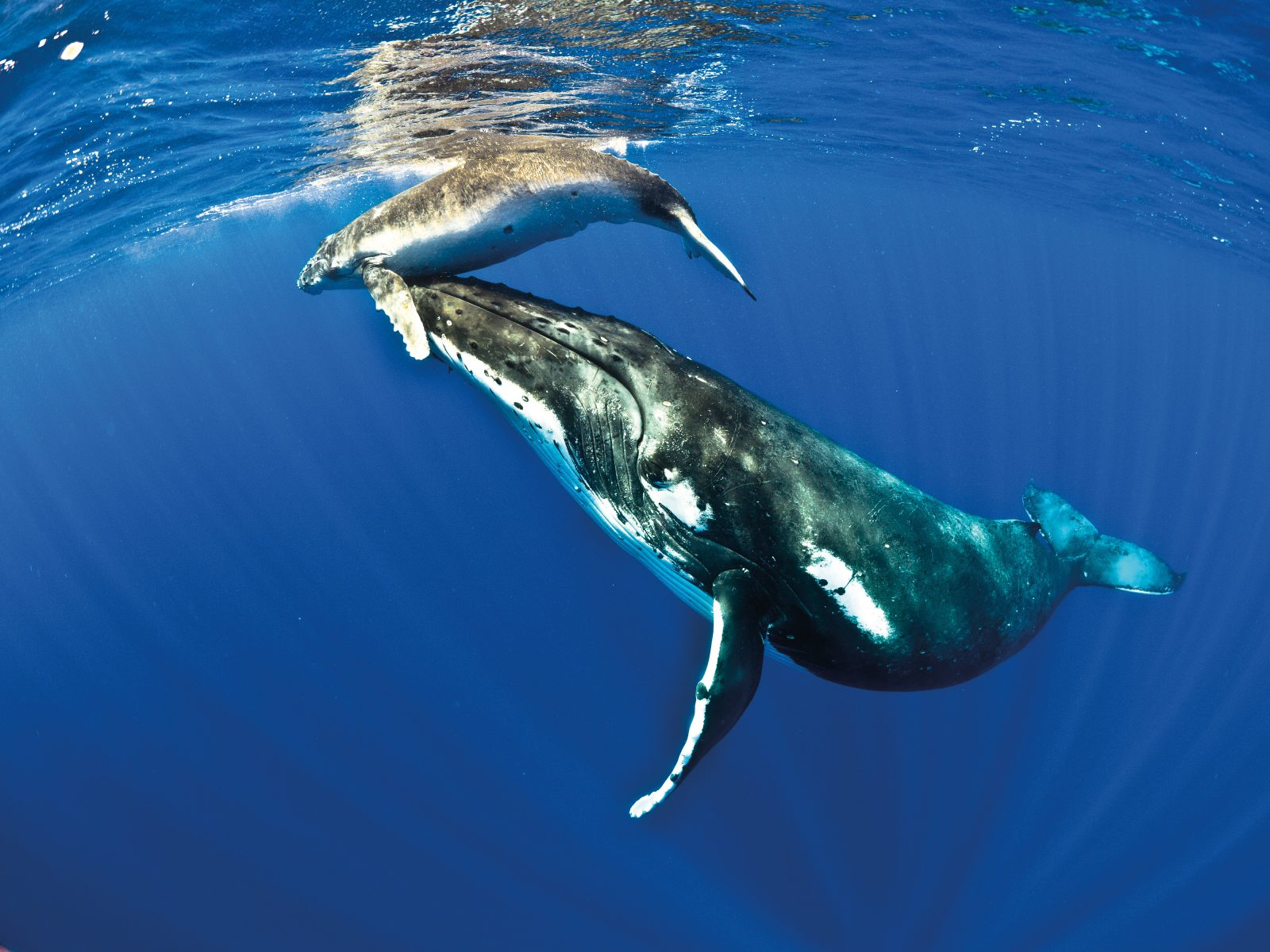 "Every winter, humpback whales leave their summer feeding grounds in polar waters and migrate thousands of miles to the tropics for mating and calving. The population of humpbacks in the Oceania region has yet to recover from illegal whaling that continued despite the 1986 moratorium, and while the species is listed now as ""Least Concern"", the status of this population is unknown. Climate change, pollution and ship collisions continue to keep humpbacks in the South Pacific under pressure. Every calf matters. This humpback mother in Niue stays close to its calf during its first days of life, lifting it to the surface to breathe."