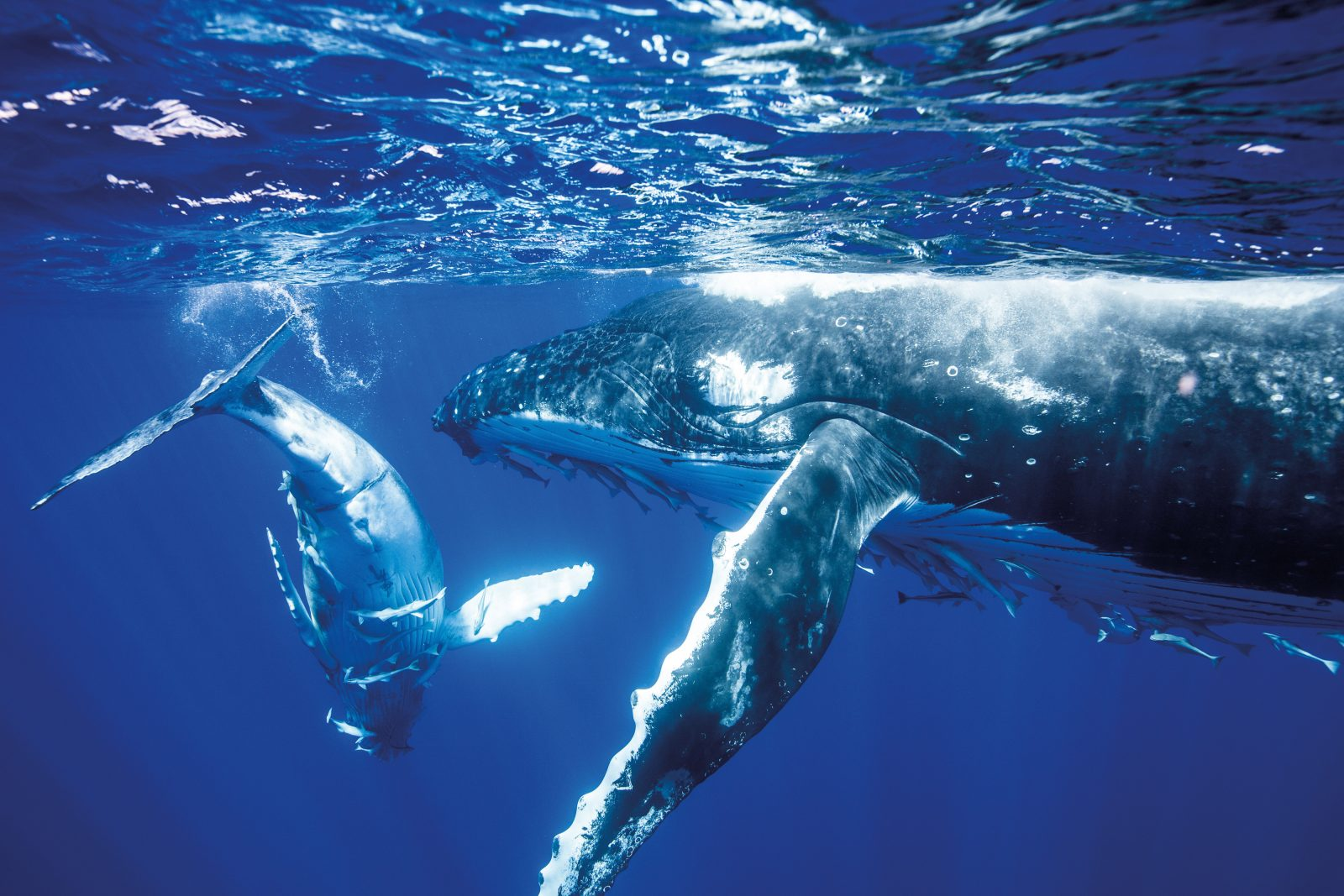 A newborn humpback calf swims with its mother in the warm breeding grounds of Vava'u in Tonga, one of the source populations of the whales observed at Raoul Island. Being dependent on a constant supply of maternal nourishment—some 200 litres per day of rich, fatty milk the consistency of cottage cheese—calves travel close beside their mothers throughout the southern migration. At Raoul scientists often saw groups of two or three mother-calf pairs, travelling or socialising together.