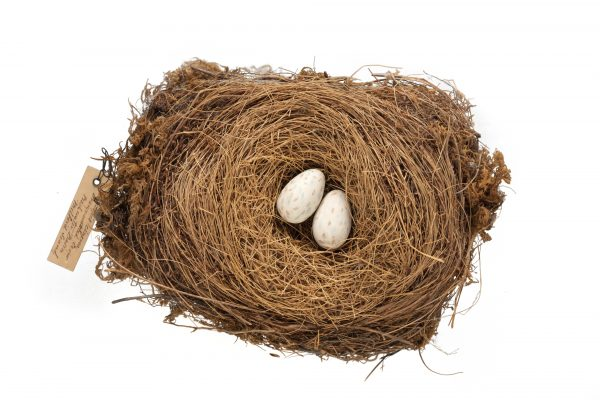 Few artefacts remain of the South Island kōkako—this nest (right, with replica eggs) is one of them. It was collected in Milford Sound in 1873 and is held by Te Papa.