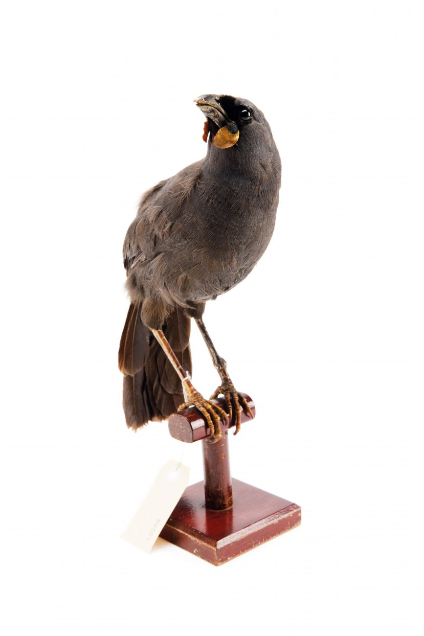 "Taxidermied museum specimens may be all that remains of the South Island kōkako, which were often seen in large groups, according to the records of 19th-century writers. ""Never again in human experience can that grand sight of twenty kōkakos in single file be seen hopping through the bush like a flock of sheep, for its ground-feeding habits have laid this slate-blue sylph open to the attacks of enemies,"" wrote Mona Gordon in 'Children of Tane' in 1938. ""Slipping through the low mānuka scrub, there goes the grey wraith of kōkako, passing to inevitable extinction, except where the inmost seclusion of the southern forest serves to turn that ghost into lingering reality."""