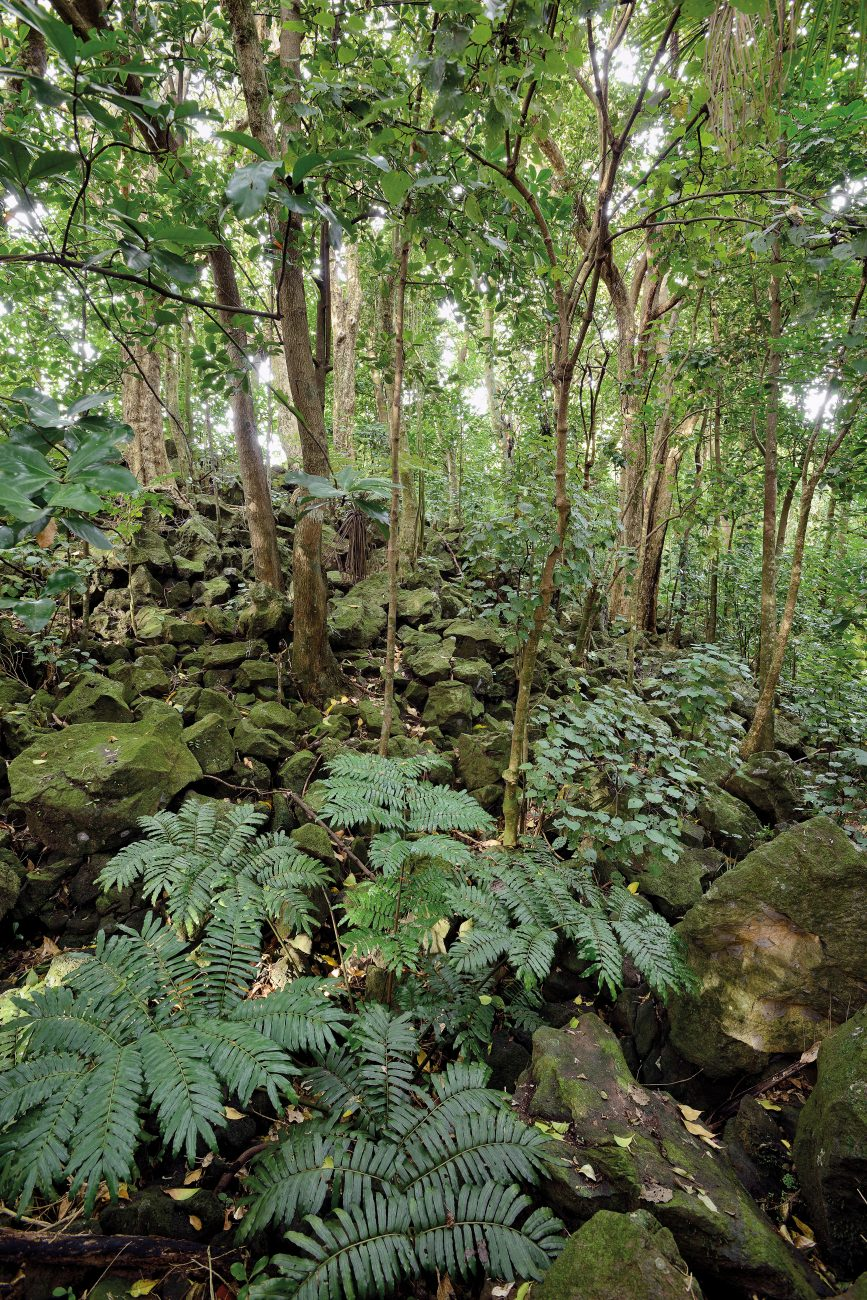 In an Auckland Council-owned tract of rock forest on Almorah Road, the boulder-strewn terrain hosts an airy understorey dominated by kawakawa, with its hole-punched, heart-shaped, peppery-tasting leaves. Conditions are perfect for king fern, too. Although native to the Auckland region, king fern is not natural to rock forest but has naturalised in Almorah as a result of deliberate plantings by a landowner in the early 20th century. However, its presence is welcomed by botanists, as king fern is declining nationally and is rare in urban sites.