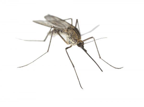 142_Life-Mosquito