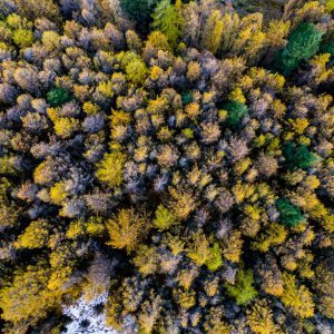 European larch trees planted near Lake Tekapo in the 1950s form unfamiliar shapes when viewing from above. Flying a drone at the correct altitude was the most difficult aspect of this shot for photographer Talman Madsen—from above, it was difficult to judge the trees' proximity and height.