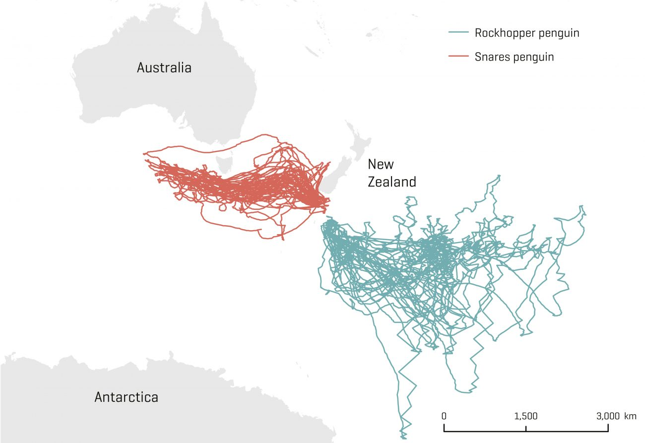 A recent NIWA study reveals for the first time the magnitude of their annual migrations. Snares crested penguins (shown in red) travelled deep into the Great Australian Bight, while southern rockhoppers from Campbell Island swam as far afield as Antarctica's Ross Sea and the Chatham Islands (shown in blue).