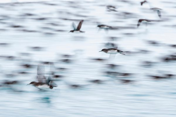 Moving up and down the Kaikōura coast in rafts of up to 50,000 birds, Hutton's shearwaters appear as great swarms or drifts on the water.