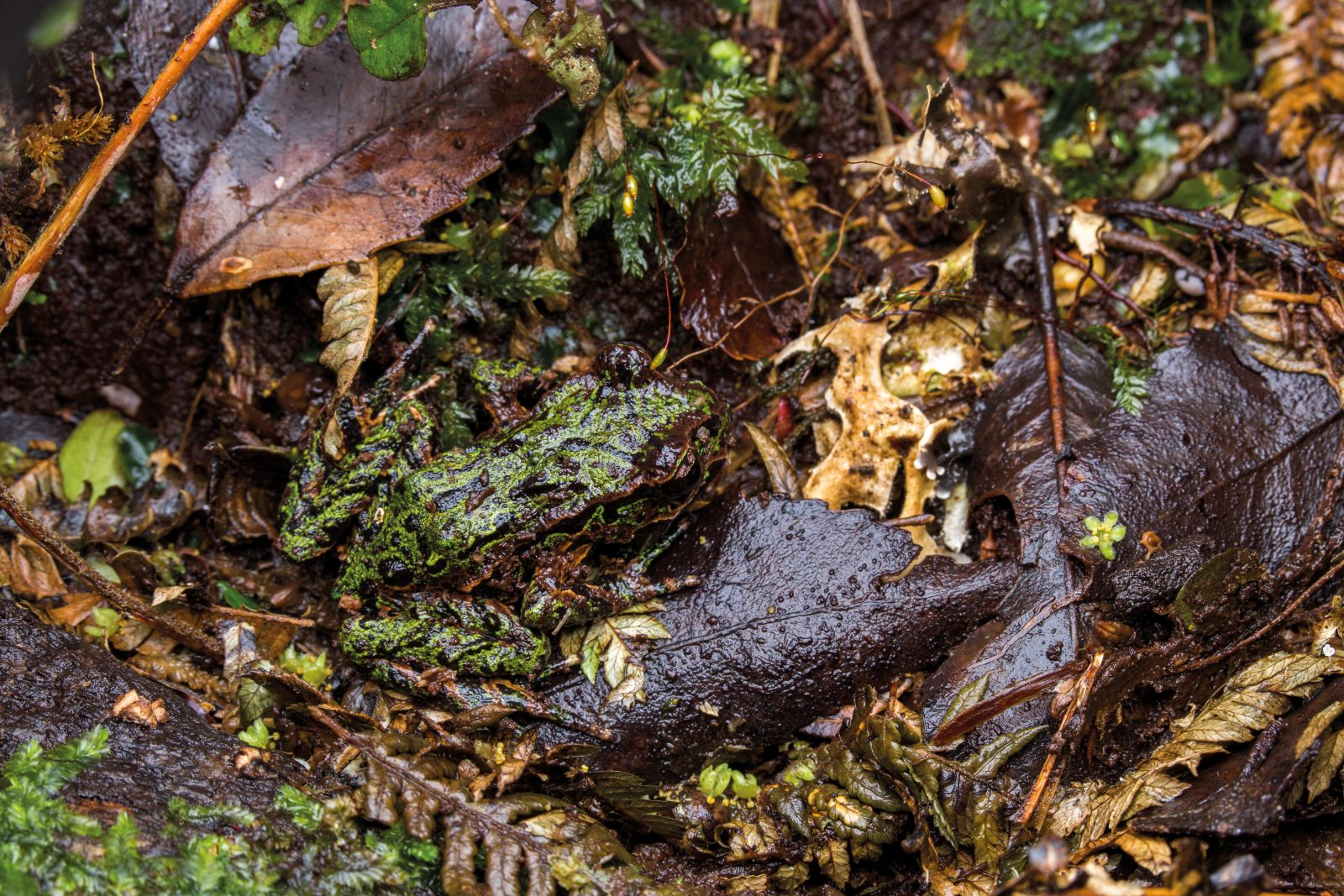 Archey's frogs are 'ambush feeders', waiting motionlessly on logs or within tree ferns for invertebrate food to pass by. They are known to climb several metres up trees, and it's likely that they do this in pursuit of a meal.
