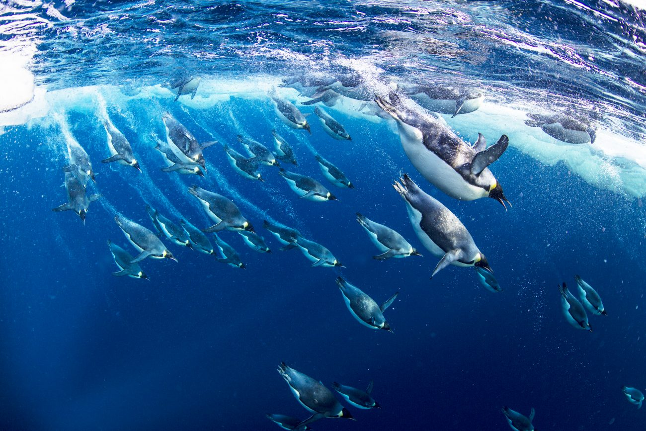 How Long Can Penguins Hold Their Breath?