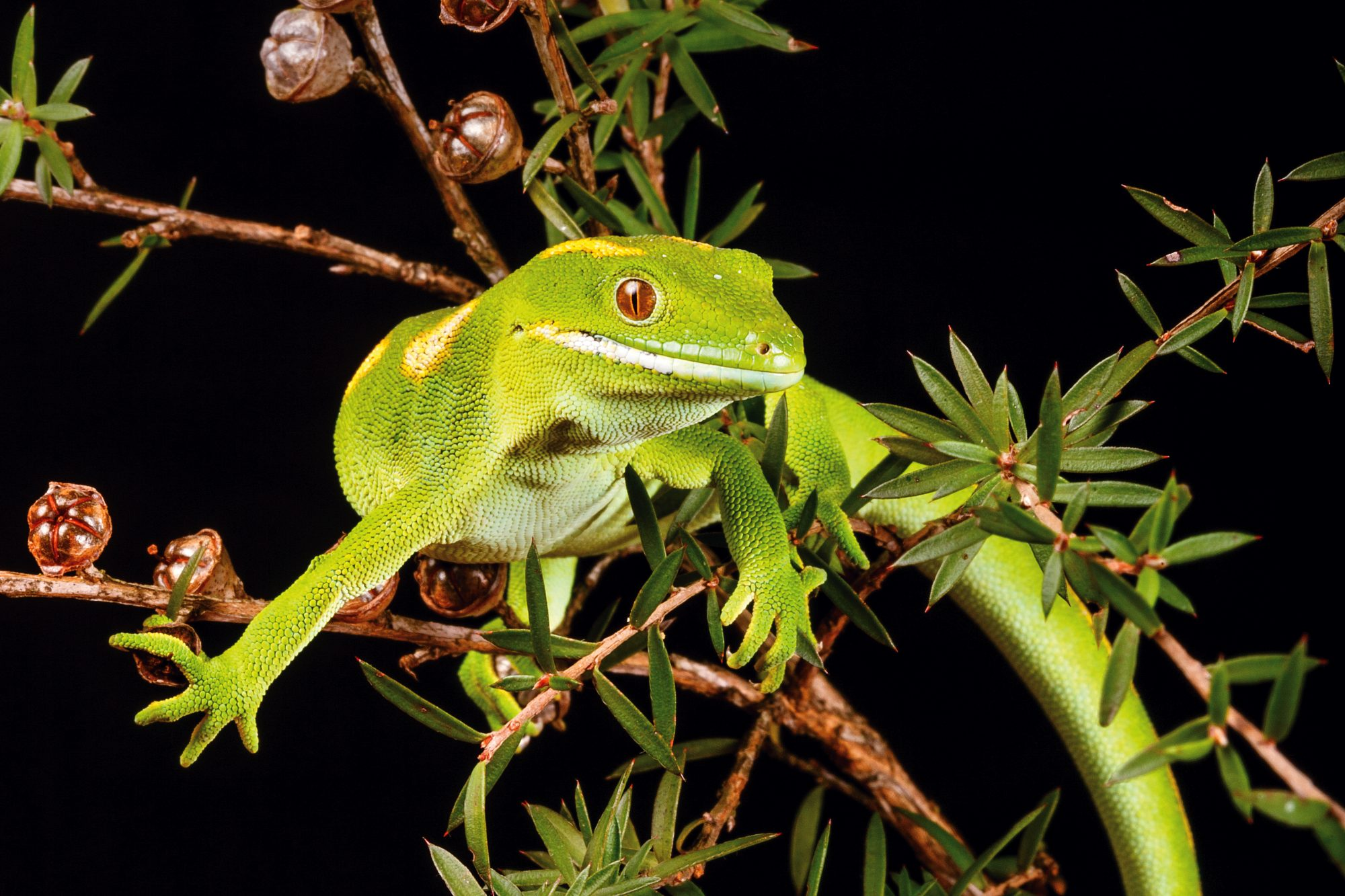 The Reptile Smugglers New Zealand Geographic